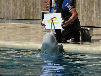 Animal-made art - Beluga whale painting