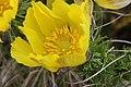 Adonis vernalis (25932423674).jpg