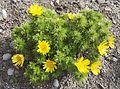 Adonis vernalis L. (Ranunculaceae)-2F.jpg