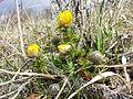 Adonis vernalis sl26.jpg