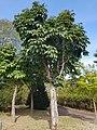 Aesculus species in Gangwon Provincial Arboreteum, Korea.jpg