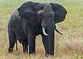 African Elephant (188286877).jpeg