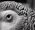 African Grey Parrot-macro2.jpg