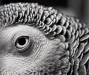 African Grey Parrot - Psittacus erithacus - macro