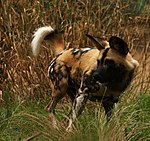 African Hunting Dog (3848767004).jpg