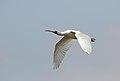 African Spoonbill, Platalea alba at Marievale Nature Reserve, Gauteng, South Africa (21608312741).jpg