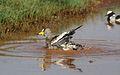 African Wattled Lapwing or Senegal Wattled Plover, Vanellus senegallus at Krugersdorp Game Reserve, Gauteng, South Africa (31431143172).jpg