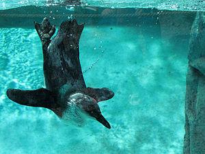 Seneca Park Zoo - African black-footed penguin, Seneca Park Zoo, Rochester, New York