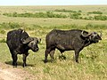 African buffalo (Syncerus caffer) Африканский (кафрский) буйвол - panoramio.jpg