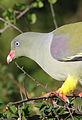 African green pigeon, Treron calvus, Kruger main road near Punda Maria turn-off, Kruger National Park, South Africa (26146249601).jpg