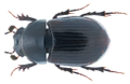 Agoliinus lapponum (Gyllenhal, 1808) Syn- Aphodius (Agoliinus) lapponum Gyllenhal, 1808 (35453967311).png