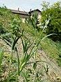 Agrostemma githago sl26.jpg