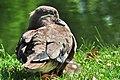 Aix galericulata (Küken) - Nymphenteich Zürichhorn 2011-06-10 16-30-59.jpg