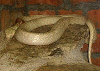 Albino cobra. It retains some yellow and red pigment, because it is not also axanthic.