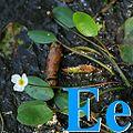 Alfabet roślin - literka E.jpg