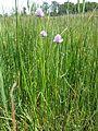 Allium schoenoprasum var. alpinum sl8.jpg