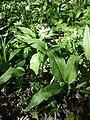 Allium ursinum sl7.jpg