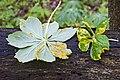 Allodus podophylli 2.jpg