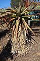 Aloe marlothii - Leaning Pine Arboretum - DSC05738.JPG