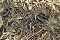Aloe rauhii 1zz.jpg