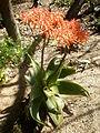Aloe striata 1c.JPG