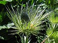Alpen-Mannstreu (Eryngium alpinum), Blüte.jpg