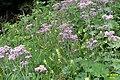 Alpine flora (Gru) (31135937364).jpg