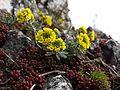 Alyssum montanum subsp. gmelinii sl5.jpg