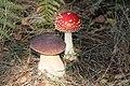 Amanita muscaria and Boletus edulis.jpg