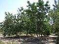 Amarula tree.JPG