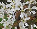 Amelanchier lamarckii bloem.jpg