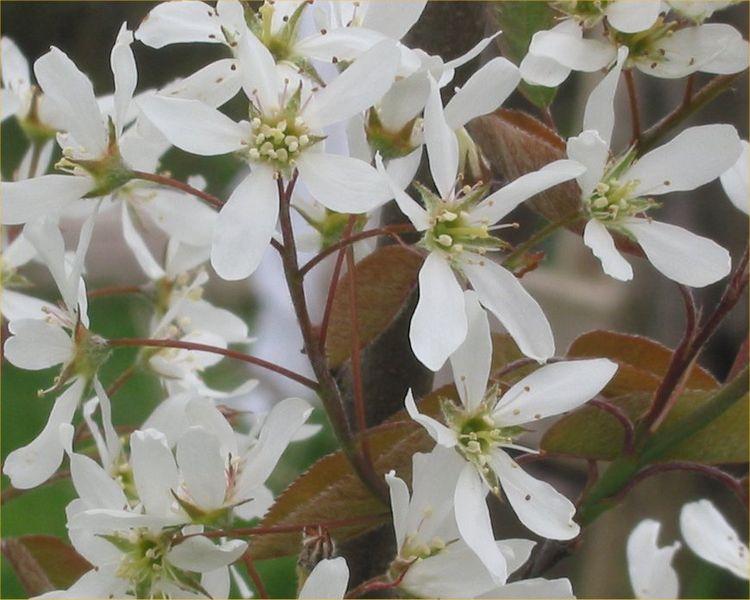 File:Amelanchier lamarckii bloem.jpg