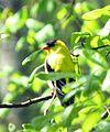 American Goldfinch (16690200313).jpg