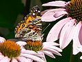 American Painted Lady (4678371233).jpg