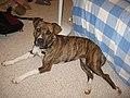 American Pit Bull Terrier.jpg