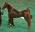 American Saddlebred (3007248041).jpg