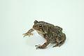 American toad lightbox.jpg