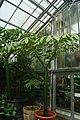 Amorphophallus titanum-Si.JPG