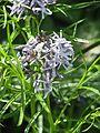 Amsonia hubrichtii - Flickr - peganum (1).jpg