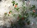 Anagallis im Pappelschnee.jpg
