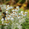 Anaphalis margaritacea-IMG 6098.jpg
