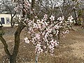 Ancient Shiloh almond tree 2019.jpg