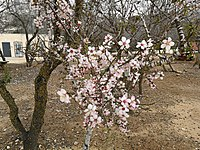 Ancient Shiloh almond tree 2019.jpg