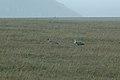 Andean Ibis 2015-06-03 (5) (25438917757).jpg
