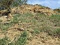 Androsace maxima sl85.jpg