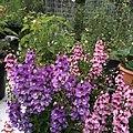 Angelonia angustifolia public domain IMG 5101.jpg
