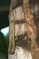 Anolis oculatus at Batalie-2011 10 30 0131.jpg