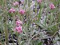 Antennaria microphylla (3997483987).jpg