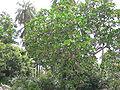 Anthocleista procera 0006.jpg