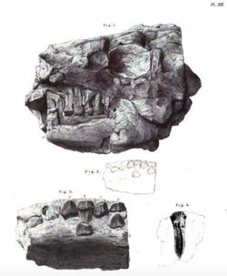 Fossils of Anthodon shown from the left side; what Paranthodon was once thought to be